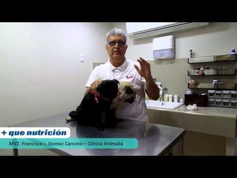 + que nutrición - Perros de raza Pug, recomendaciones para el cuidado de sus ojos