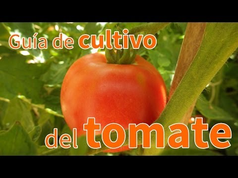 Semillas ecológicas de tomate marmande raf Vergea