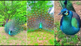 Animals Life: Beauty and cute peacock in Tiktok#4