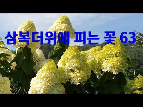 , title : '삼복더위에 피는꽃 63가지