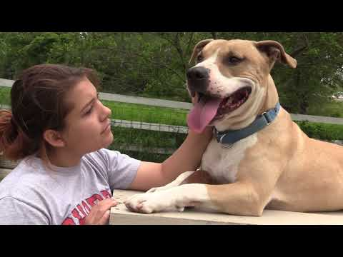 Magic (Fostered in Omaha), an adoptable Pit Bull Terrier Mix in Papillion, NE