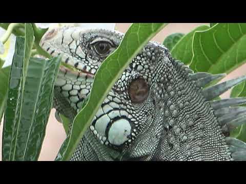Iguana da Amazônia da lente do Jornal Agora é Sério