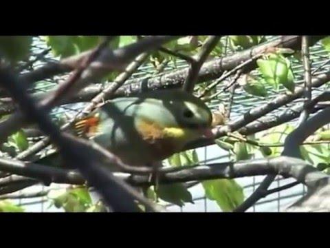 Video Burung Penangkaran Burung Robin