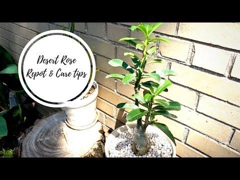 Desert Rose | Care Tips, Soil, Repot with me!