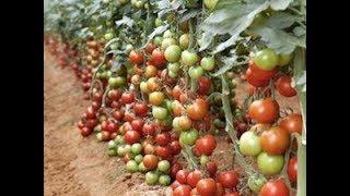 tomato tunnel farming || letest update 2018