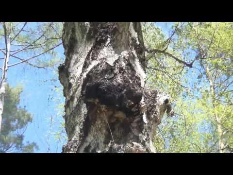 Настойка на кедровых орешках при аденоме простаты
