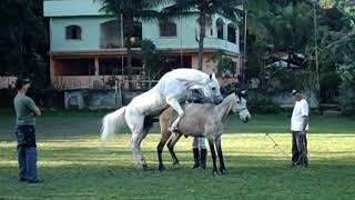 Breeding And Birth - Cavalo Doido Guerreiro Cruzando.
