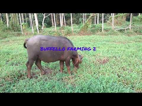 Buffello farming kerala part 2
