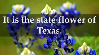 Facts about Texas Bluebonnet