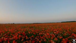 FPV CINEMATIC SERIES. Poppy flowers field. Gopro Version / Полет над маковым полем.