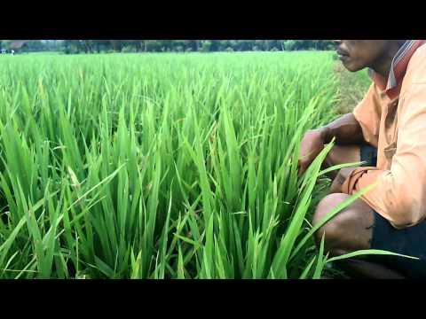 Video Penyakit Blast padi