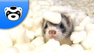 Cute Ferrets vs Packing Peanuts