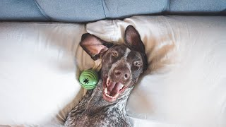 5 Funny Things About German Shorthaired Pointers
