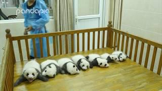 Baby Panda Party