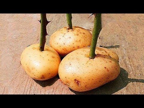 Stecke einen Rosenzweig in eine Kartoffel und sieh was passiert! letöltés