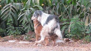 Awesome Sweet Rural Dogs In Village!! Labrador Dog Meeting Norwegian Buhund Nearly Morning