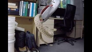 Rattlesnake In The Office