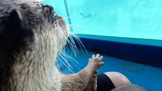 The otter enjoying a sea lion show with serious eyes [Otter life Day 332]【カワウソアティとにゃん先輩】
