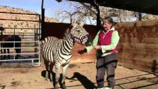 Conversations with a Zebra