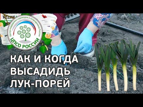 Как сажать лук-порей в открытый грунт. Выращивание  лука-порея.