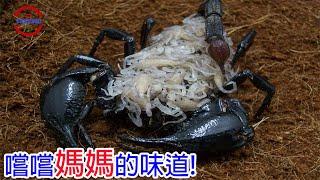 [TOP5]數個殘忍吞食母親的生物 | 愛你就要吃掉你 | 比恐龍還古老的噬母生物
