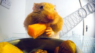 THIS Is How Hamsters Fit So Much Food Inside Their Cheeks! | Pets: Wild At Heart | BBC Earth