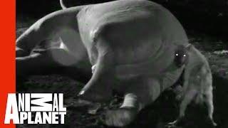 Hyena Sticks Head In Elephant's Butt   Eating Giants: Elephant