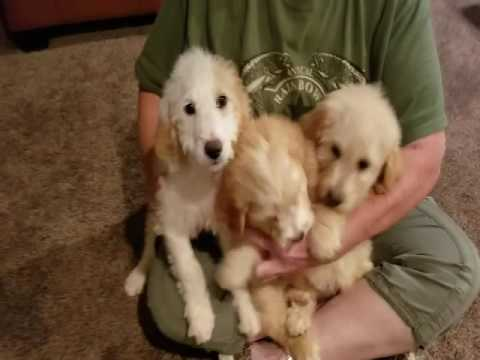 Video 1 of Goldendoodle
