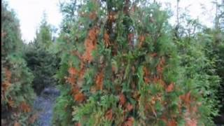 Yellow Foliage on Hollies,Arborvitae,Pines, and Skip Laurels   About These Plants