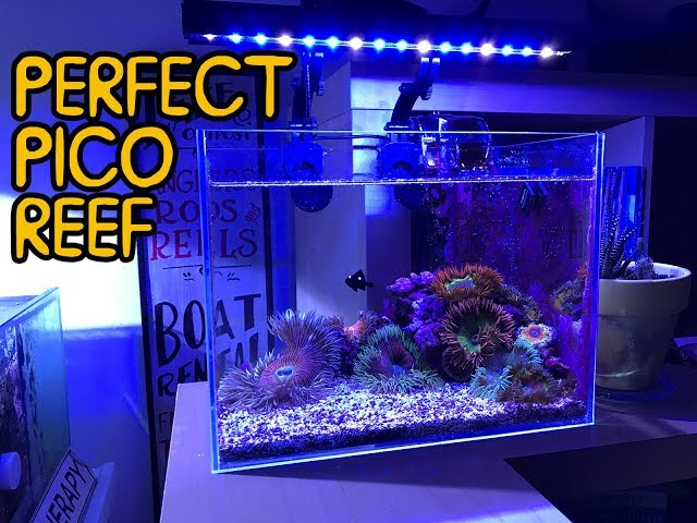 How SMALL Can You Do A Pico REEF? Flower Anemones in 3 gallons