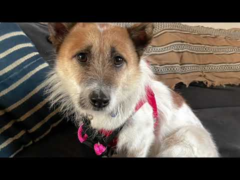 Nuri, an adopted Jindo & Terrier Mix in Brooklyn, NY_image-1