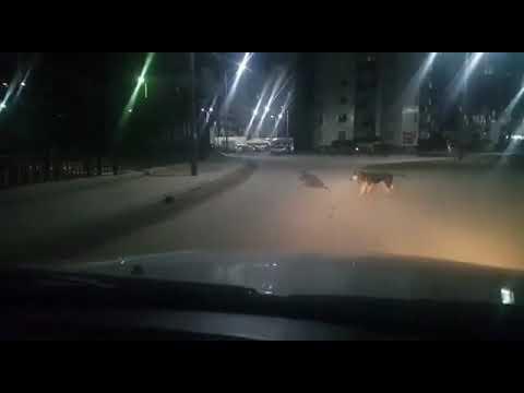 В Якутске ондатра напала на здоровую собаку