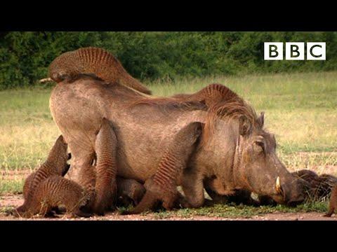 warthog and meerkat relationship goals