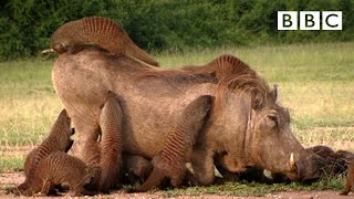 A Warthog Spa - Banded Brothers - BBC