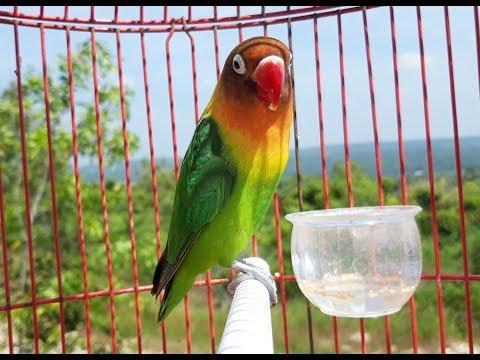 mp4 Lovebird Sf, download Lovebird Sf video klip Lovebird Sf