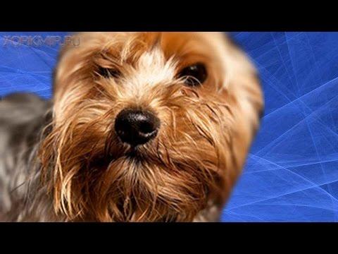 Отек Квинке у собак | Причины | Лечение | Диагностика.