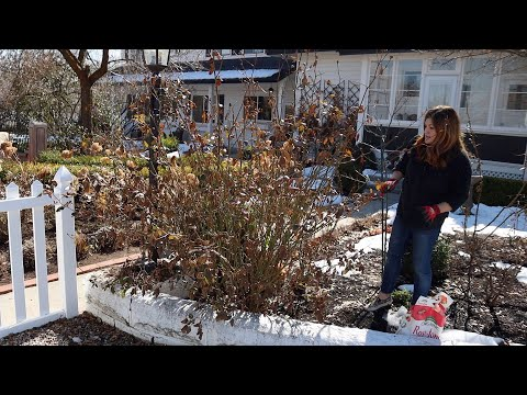 Pruning Roses in the Spring - Gardening Tips and Tricks