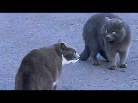 MMA de gatos