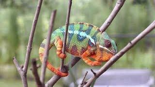 जानिए गिरगिट के रंग बदलने का राज़    Know The Secret Of Chameleon Of Color Change