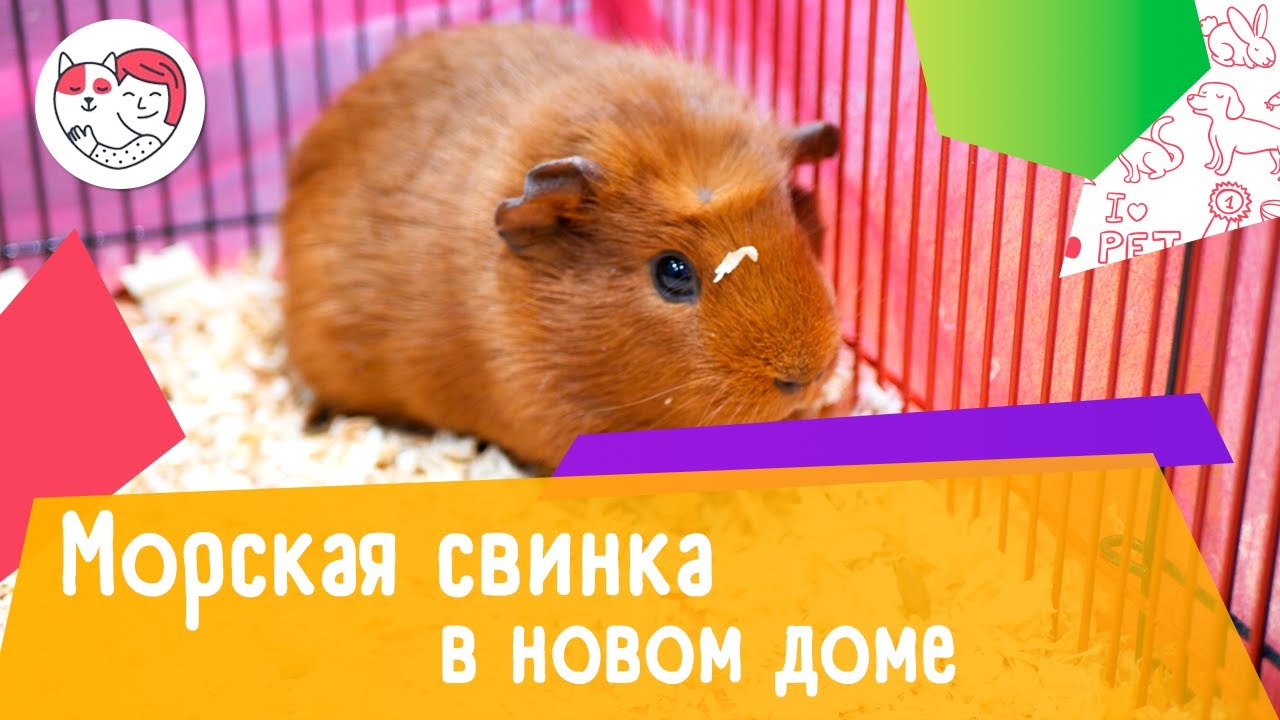 4 совета, как помочь морской свинке адаптироваться в новом доме