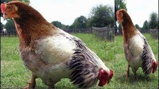 """Bí ẩn """"quái gà"""" 2 đầu 4 chân 4 cánh gây sốt ở Sóc Trăng"""