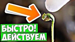 Росток не может освободиться от оболочки семечки! Есть простое лечение!