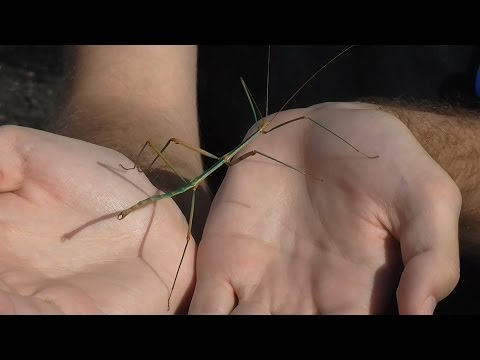 Focus on Species: Stick Insects (Phasmatodea)
