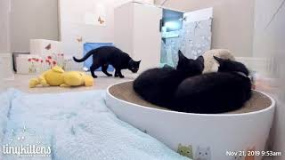 Mama Angela shows kittens how to hunt a rat!  TinyKittens.com