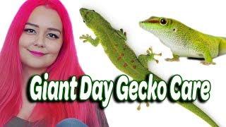 Day Gecko Care | Madagascar Giant Gecko