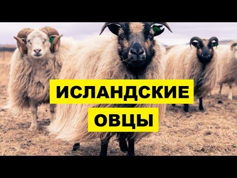 , title : 'Разведение овец Исландской породы как бизнес | Овцеводство | Исландские овцы