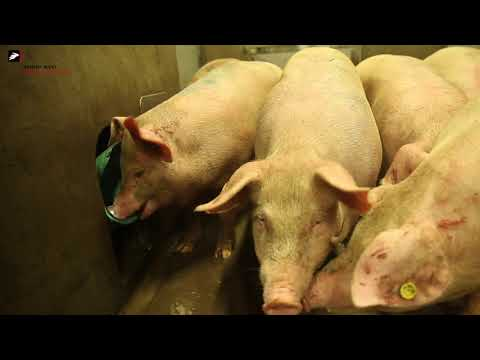 , title : 'Slaughtering pigs in a humane way