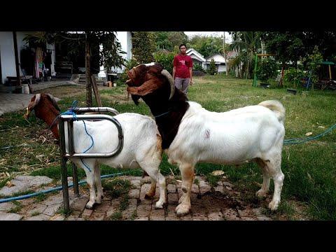 , title : 'Big Boer Goat Farming   Boer Goat Farm in Village