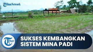 Panen Ikan dan Padi Sekaligus, Petani Bogor Sukses Kembangkan Mina Padi