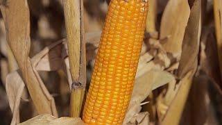 CORN - El INTA brinda consejos para el secado de maíz a campo durante el invierno